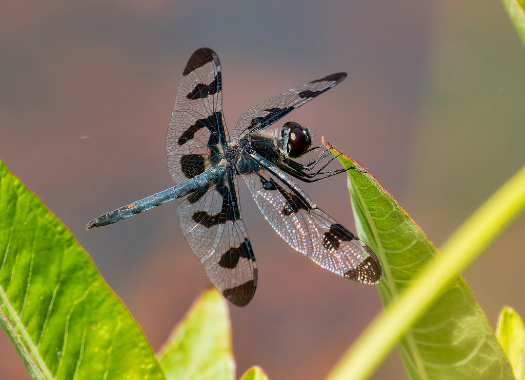 Banded Pennant, male