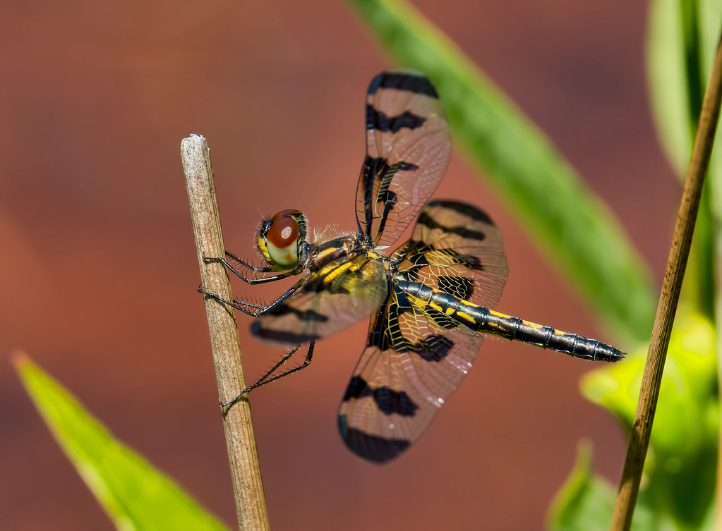 Banded Pennant, female
