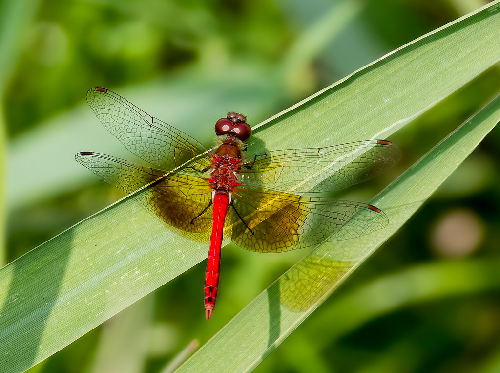 Band-winged Meadowhawk, male