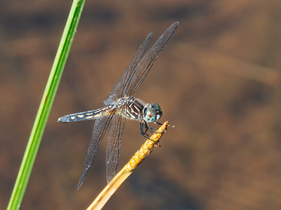 Blue Dasher (Pachydiplax longipennis), female