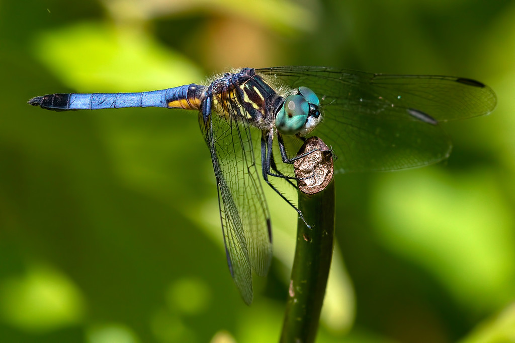 BLue Dasher, male