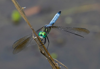 Male, Bombay Hook NWR