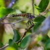 Female; Bentsen State Park, TX