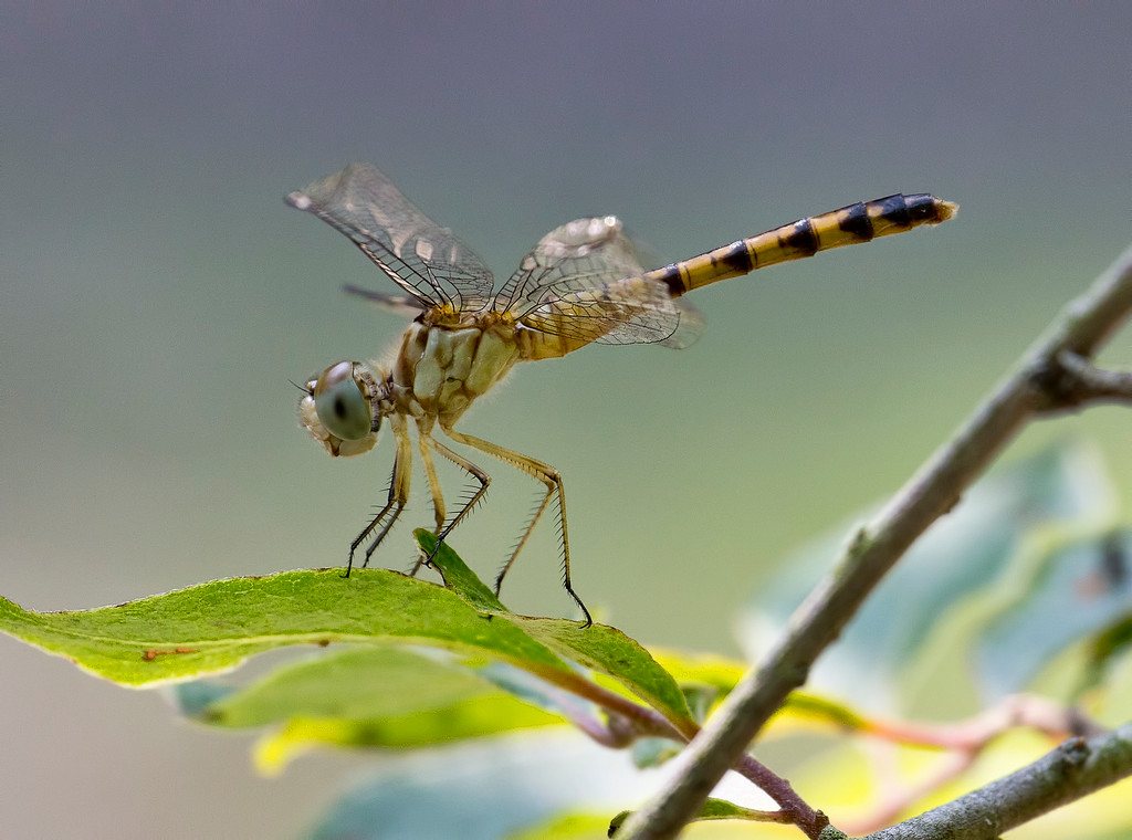 Blue-faced Meadowhawk, female