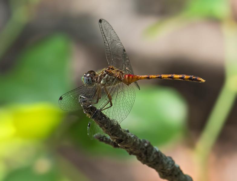 Immature Male, Blackbird State Forest