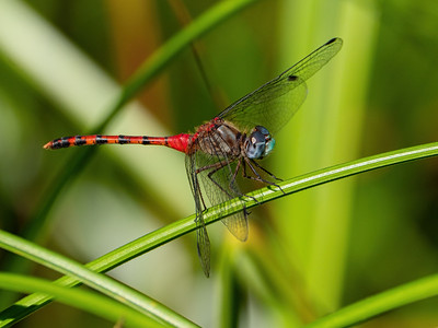 Blue-faced Meadowhawk (Sympetrum ambiguum), male