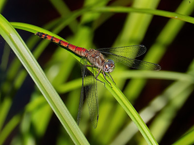 Blue-faced Meadowhawk (Sympetrum ambiguum), female