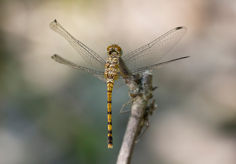 Female, Lum's Pond SP