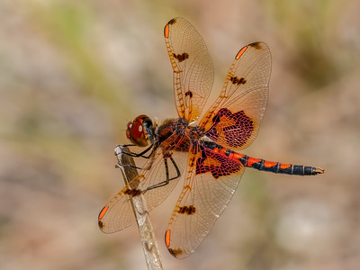 Calico Pennant,  male, Winslow WMA, NJ