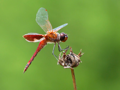 Carolina Saddlebags (Tramea carolina), male