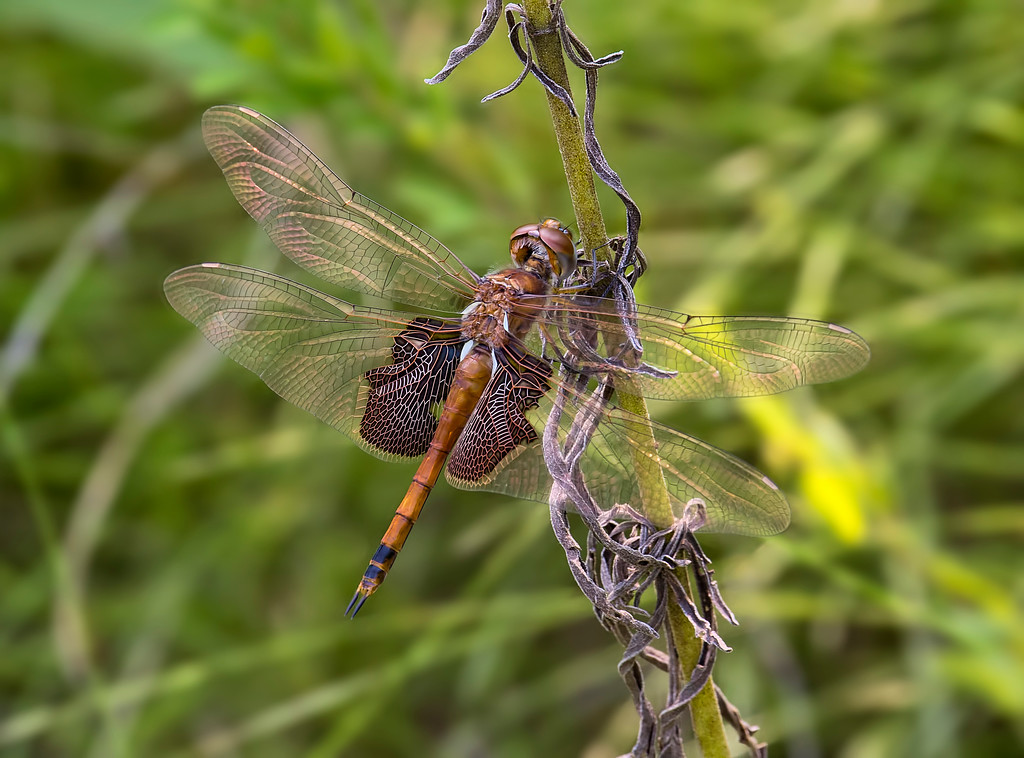 Carolina Saddlebags female
