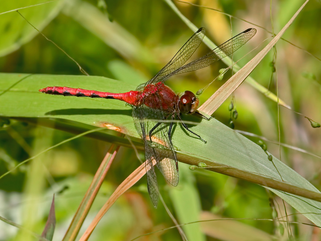 Cherry-faced Meadowhawk, male
