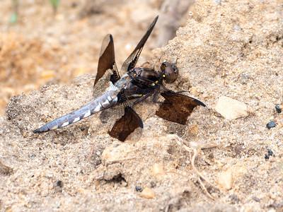 Common Whitetail (Plathemis lydia), male
