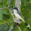 Teneral being eaten by Eastern Kingbird