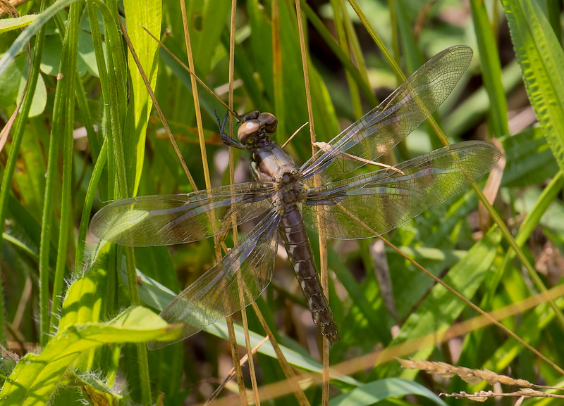Teneral female, Lum's Pond SP