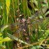 Teneral female, Lum's Pond SP