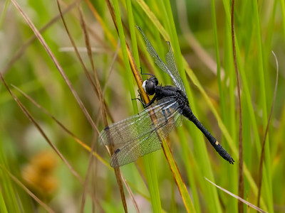 Dot-tailed Whiteface (Leucorrhinia intacta), male