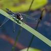 Male, Hawkins Pond, Broome County, NY
