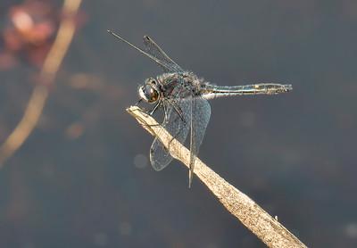 Male, Roadside Pond near Jam Pond, Chenango County, NY