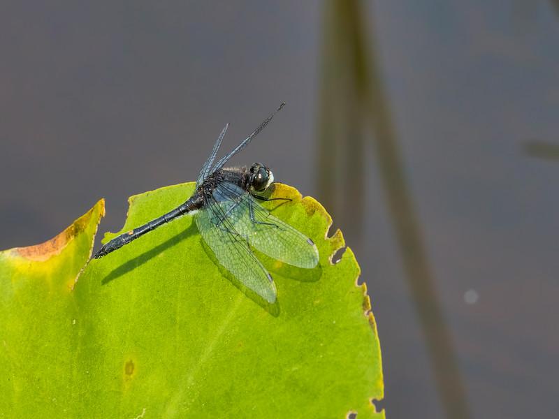 Male, Ten Acre Pond, Centre County, PA