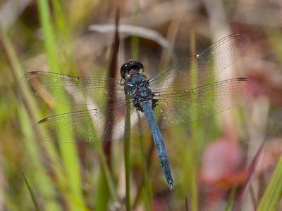 Doubleringed Pennant (Celithemis verna), male