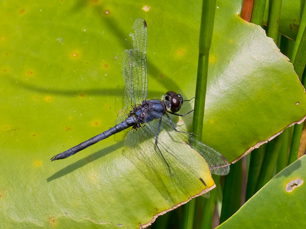 Double-ringed Pennant, male