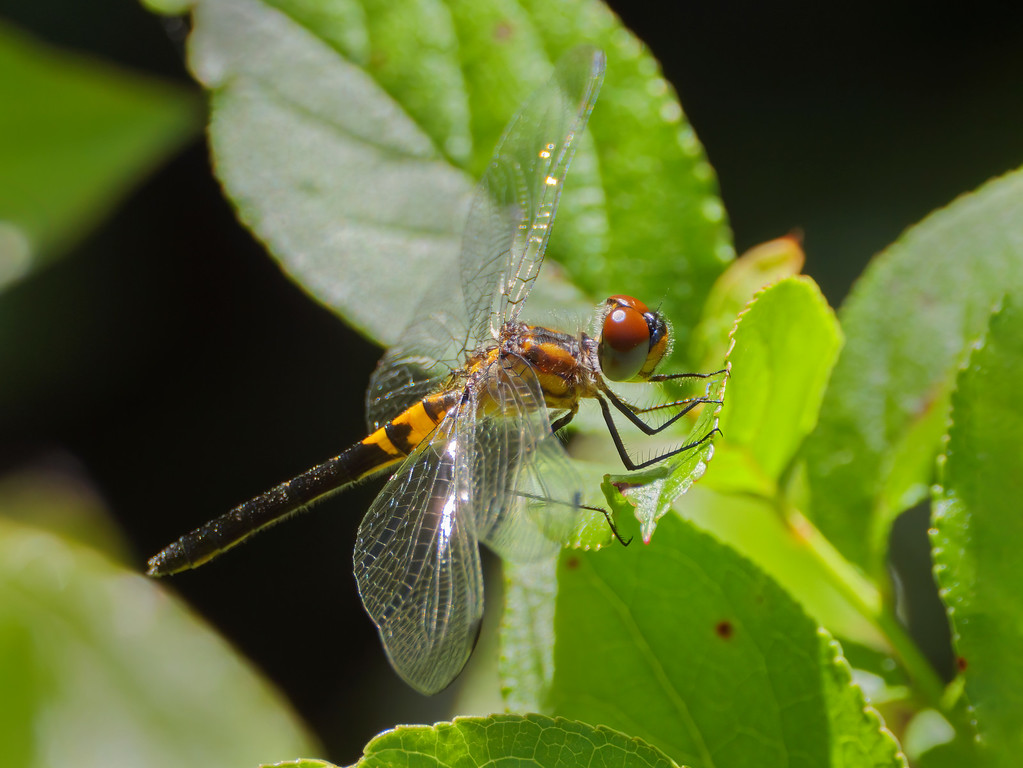 Double-ringed Pennant, female