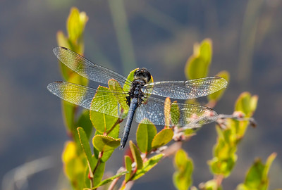 Double-ringed Pennant (Celithemis verna), male