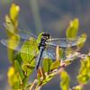 Male, Warren Gunnery Range Pond, NJ