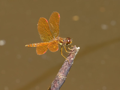 Male, Lum's Pond SP