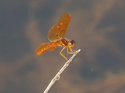 Eastern Amberwing (Perithemis tenera), male