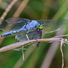 Male, consuming Seaside Dragonlet, Bombay Hook NWR