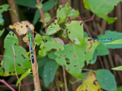 Predator and Prey, Immature male Eastern Pondhawk with male Big Bluet, Elk Neck State Park, MD