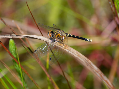 Elfin Skimmer (Nannothemis bella), female