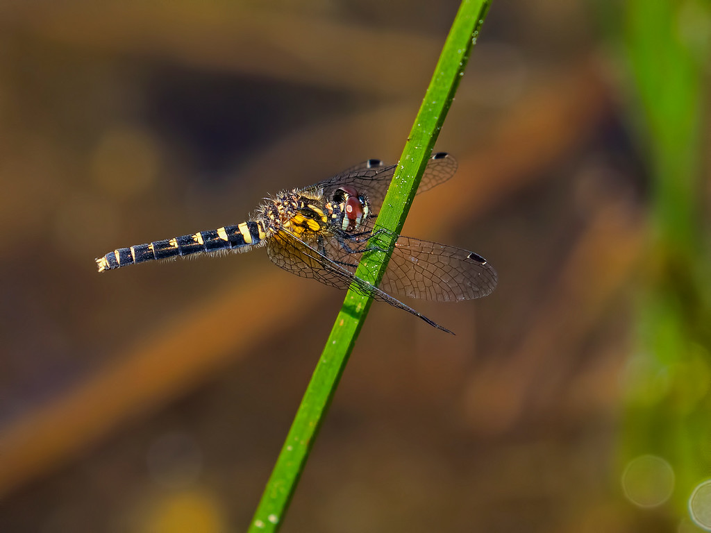 Elfin Skimmer, female