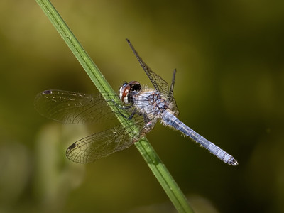 Elfin Skimmer, male, Winslow WMA, NJ