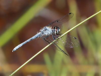 Elfin Skimmer (Nannothemis bella), male