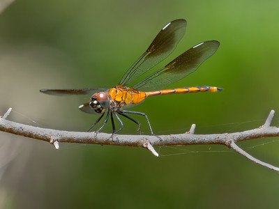 Four-spotted Pennant (Brachymesia gravida), female