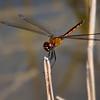 Immature male, Snake Warrior Wildlife Area, Broward County, FL