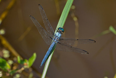 Male, Trap Pond SP