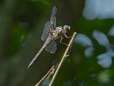Great Blue Skimmer (Libellula vibrans), male