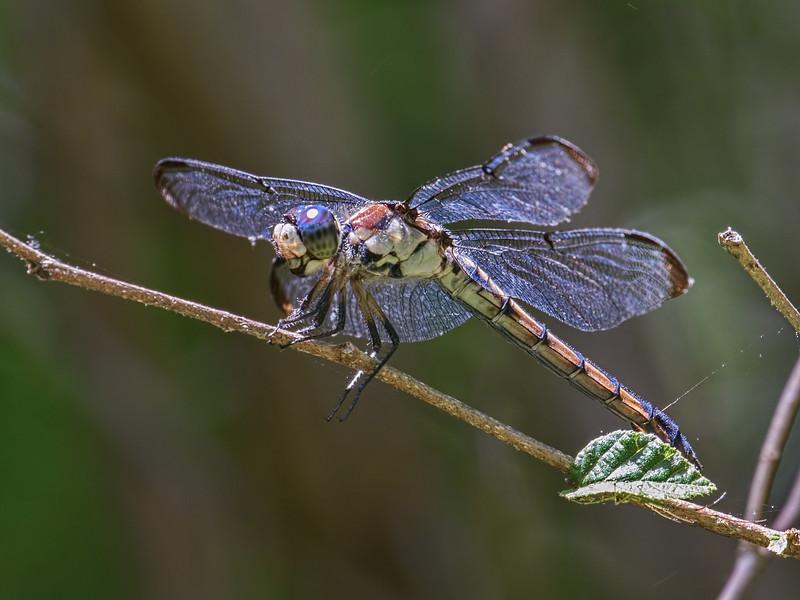 Female, Blackbird SF