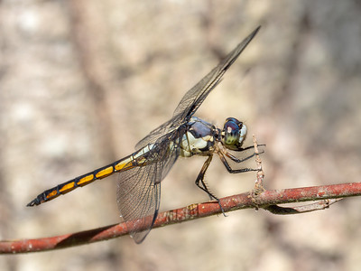 Great Blue Skimmer (Libella vibrans), immature male