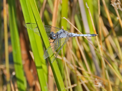 Little Blue Dragonlet (Erythrodiplax minuscula), male