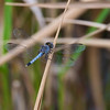 Male, Loxahatchee NWR, FL