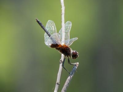 Marl Pennant (Macrodiplax balteata), male
