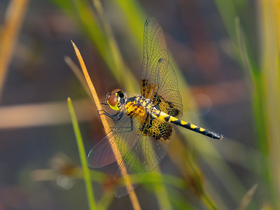 Martha's Pennant (Celithemis martha), female