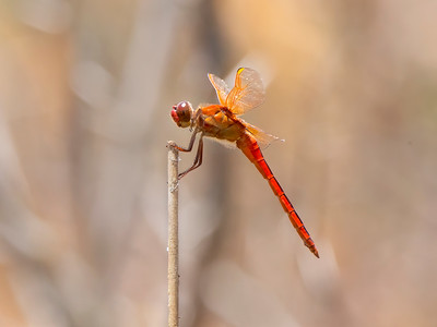 Needham's Skimmer (Libellula needhami), male
