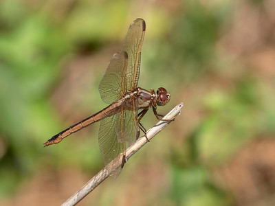 Needham's Skimmer (Libellula needhami), female
