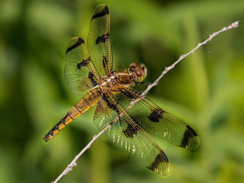 Painted Skimmer, female